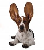foto of basset hound  - basset hound lying on a white background with raised ears - JPG