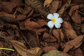 pic of champa  - Beautiful white flower in thailand Lan - JPG