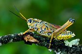 stock photo of stick-bugs  - A lubber grasshopper holding onto a scrub oak branch - JPG