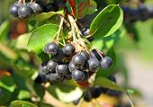picture of aronia  - Black ashberry  - JPG
