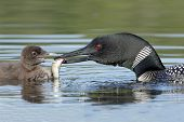 foto of loon  - Common Loon  - JPG