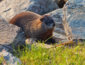 stock photo of groundhog  - Groundhog (Marmota monax) in rocks near burrow