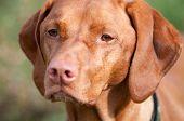 picture of vizsla  - A purebred Vizsla dog stares off into the distance - JPG