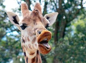 stock photo of sarcastic  - a talking giraffe taken at Wellington Zoo - JPG