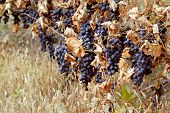 Background of ripe grapes Moldova