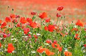 stock photo of hayfield  - Beautiful poppy seed flowering field on a sunny day - JPG