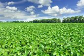 stock photo of husbandry  - Soybean field and blue sky at sunny day - JPG