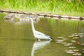 Egret In The Pond.