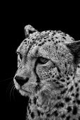 pic of camoflage  - Portrait of cheetah in black and white - JPG