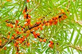 foto of sea-buckthorn  - ripe orange sea - JPG
