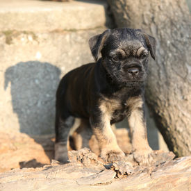 stock photo of border terrier  - Nice border terrier puppy standing in front of stonewall - JPG