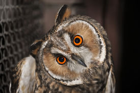 foto of owl eyes  - A close up of an eagle owl in zoo - JPG