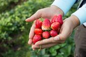stock photo of strawberry plant  - Picture of Fresh strawberries held over strawberry plants.