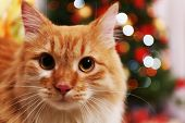 pic of lovable  - Lovable red cat on Christmas tree background - JPG