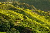 picture of cameron highland  - Landscape with tea plantation Cameron highlands Malaysia - JPG