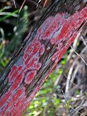 pic of mile  - Red Lichen Growing On Tree Trunk at Six Mile Cypress Slough Preserve Fort Myers Florida