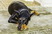 foto of doberman pinscher  - A bllack doberman pinscher dog laying on the concrete with a sad look - JPG
