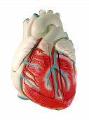 Постер, плакат: Модель человеческого сердца
