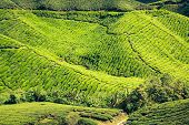 pic of cameron highland  - Green tea farm in Cameron Highland Malaysia Asia - JPG