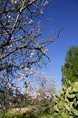 image of nopal  - Almond in flower tree and nopal cactus in mediterranean - JPG