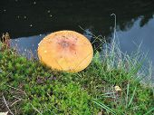 image of hallucinogens  - The psychoactive mushrooms Amanita Muscaria commonly known as fly agaric or fly amanita - JPG