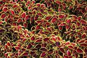 stock photo of nettle  - Coleus leaves  - JPG