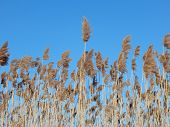 stock photo of tall grass  - tall grass that is in seed,against a blue sky