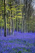 foto of harebell  - Beautiful morning in Spring bluebell forest landscape - JPG
