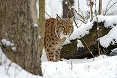 foto of bobcat  - Bobcat winter in their natural habitat - JPG
