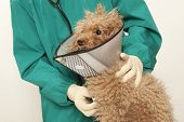 image of vets surgery  - Vet examining an red toy poodle - JPG