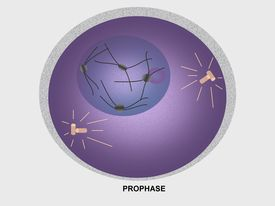 picture of prophase  - Illustration of cell in prophase of mitosis - JPG