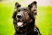stock photo of german shepherd dogs  - Black German Shepherd Dog - JPG