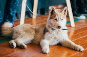 picture of eskimos  - Close Up Head Young Happy Husky Puppy Eskimo Dog Sitting On Wooden Floor - JPG