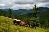 image of feeding horse  - Well fed horses on the mountain pasture feeding on the grass field - JPG