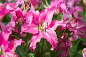 pic of stargazer-lilies  - Beautiful Lily flower close - JPG