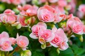 picture of begonias  - Beautiful Pink begonia or fibrous flower in the garden - JPG
