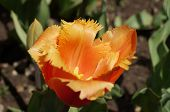 picture of parade  - tulip on  - JPG