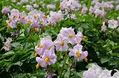 picture of potato-field  - potato flowers in bright sunlight grow in field - JPG