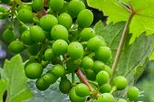 pic of grape leaf  - Sour green grapes macro on blur leafs background