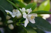 picture of orange  - Orange blossoms tree in early spring - JPG