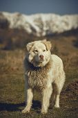 Watchful White Furry Sheepdog poster
