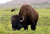 stock photo of grassland  - American buffalo on the Lawton - JPG