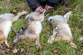 image of hare  - excludes of caught animals  - JPG