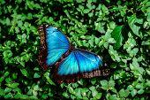 picture of butterfly-bush  - Blue Morpho butterfly  - JPG