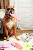image of dog clothes  - Dog demolishes clothes in messy room - JPG