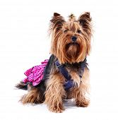 image of yorkshire terrier  - Cute Yorkshire terrier dog isolated on white - JPG