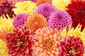 pic of flower shop  - Different types of dahlias - JPG