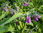 stock photo of common  - Closeup of purple and violet flowering common comfrey or Symphytum officinale plants in their own natural habitat in the early spring season - JPG