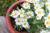 stock photo of pot-bellied  - Daisies in a pot viewed from above at home garden - JPG