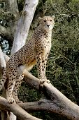 stock photo of cheetah  - A cheetah keeps standing on a tree trunk and looking for prey - JPG